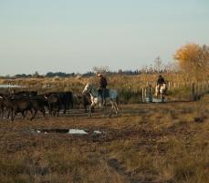 Course de taureau : Taureau de Camargue à Saintes-Maries-de-la-Mer