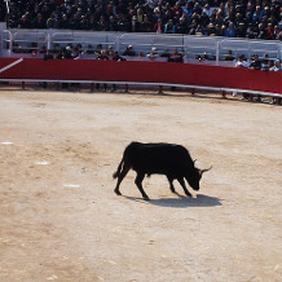 Course de taureau camarguais